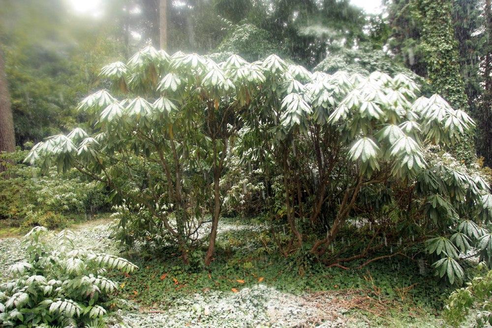 Rhododendron calophytum маточное дерево