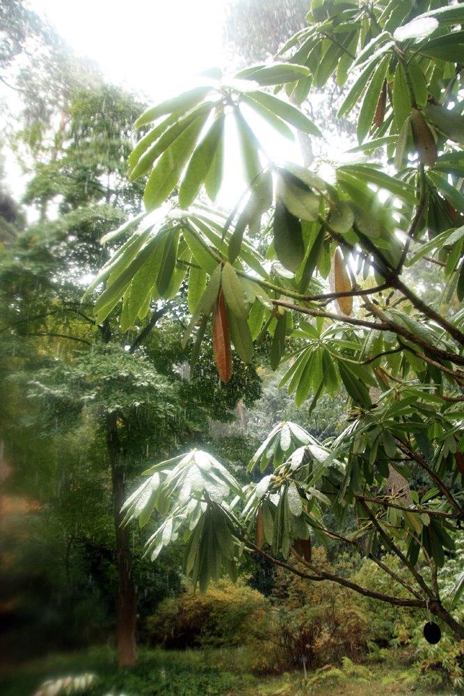 Rhododendron calophytum 2