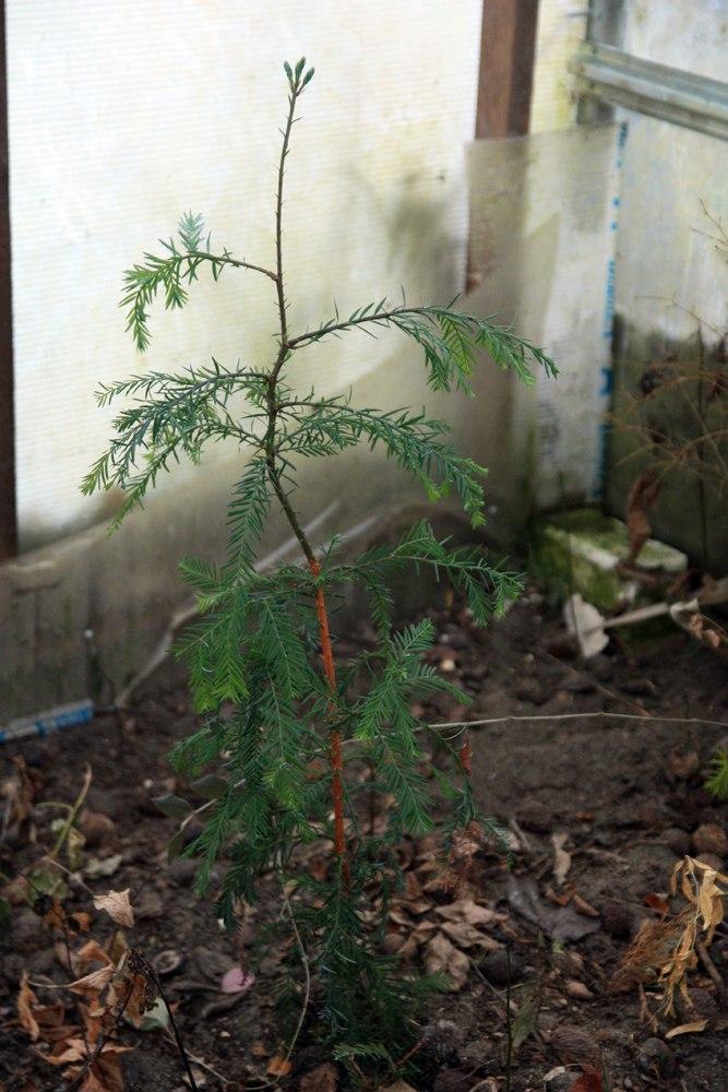 Секвойя вечнозеленая (Sequoia Sempervirens) - семенной саженец из Крыма. Поражает, что растения из семечка за сезон вырастает на метр