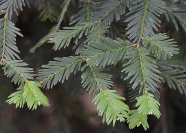 Sequoia_sempervirens_11