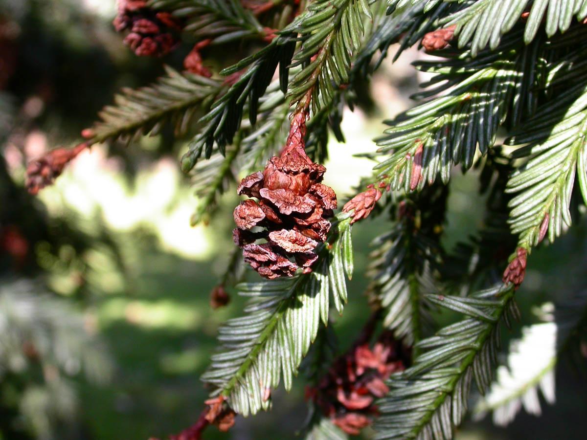 Sequoia_sempervirens_12