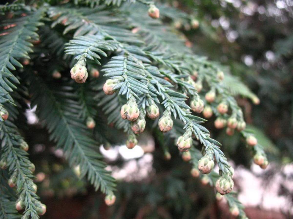Sequoia_sempervirens_3