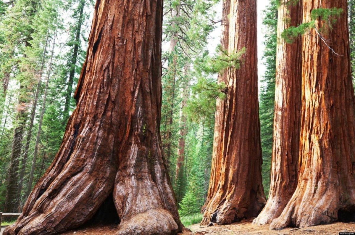Sequoia_sempervirens_4