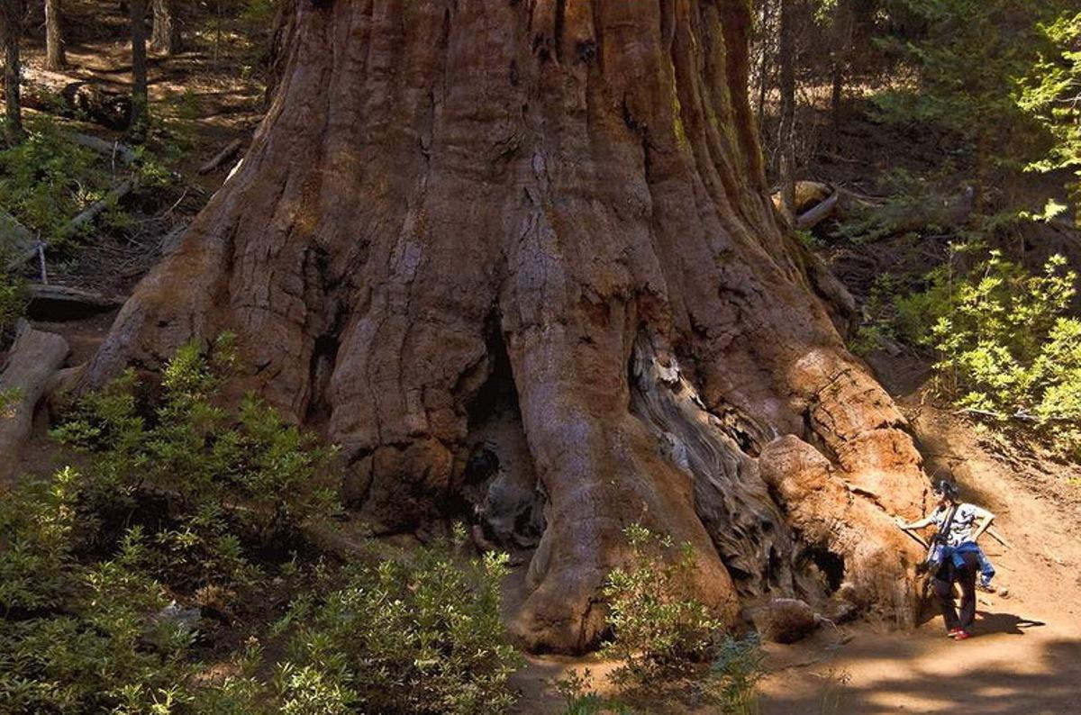Sequoia_sempervirens_5