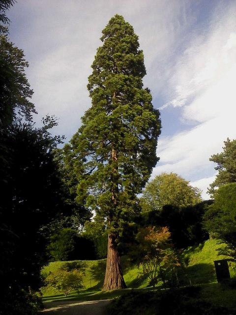 Sequoia_sempervirens_8