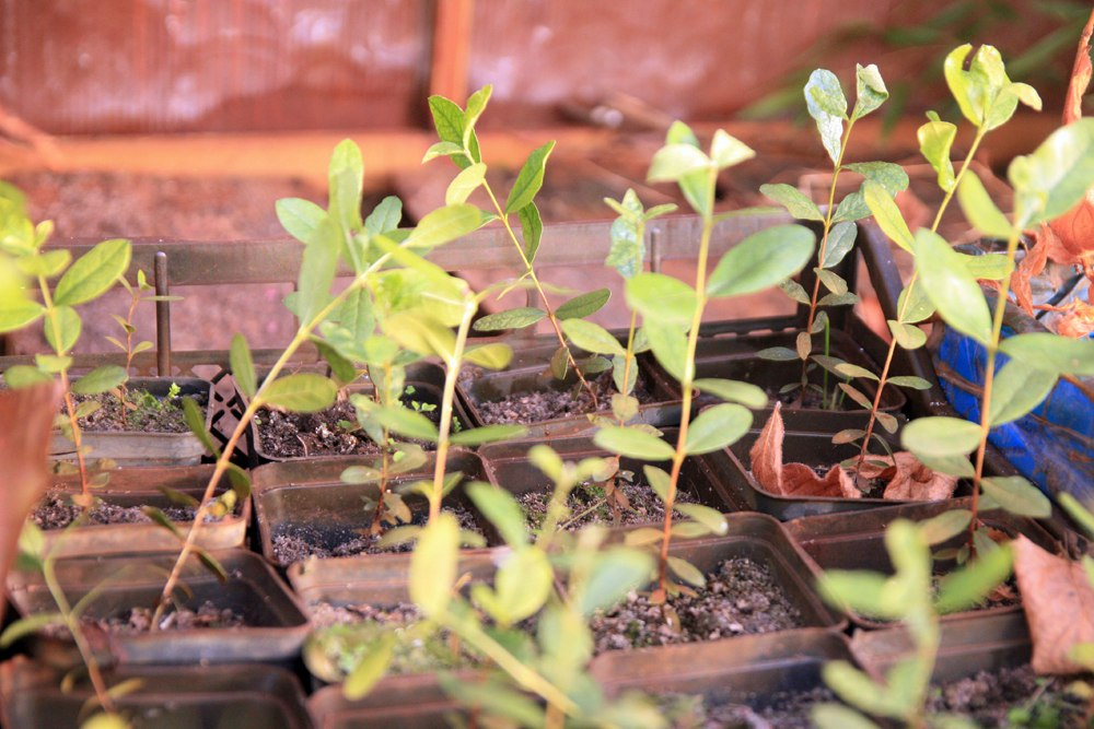 Арбутус мензиса (arbutus menziesii) земляничник (вересковые) - все саженцы были распикированы весной, достигнув размера нескольких см - это обязательное условие, если молодые растения перерастают размер больший чем пол пальца, распикировка бесполезна - все погибнут, если кто-то выживает, потом долго болеет - видел шикарный куст 3,5 м. Арбутуса в Праге - 6/7 зона - я впечатлился и решил вырастить генерацию для открытого грунта на юго-западе Беларуси