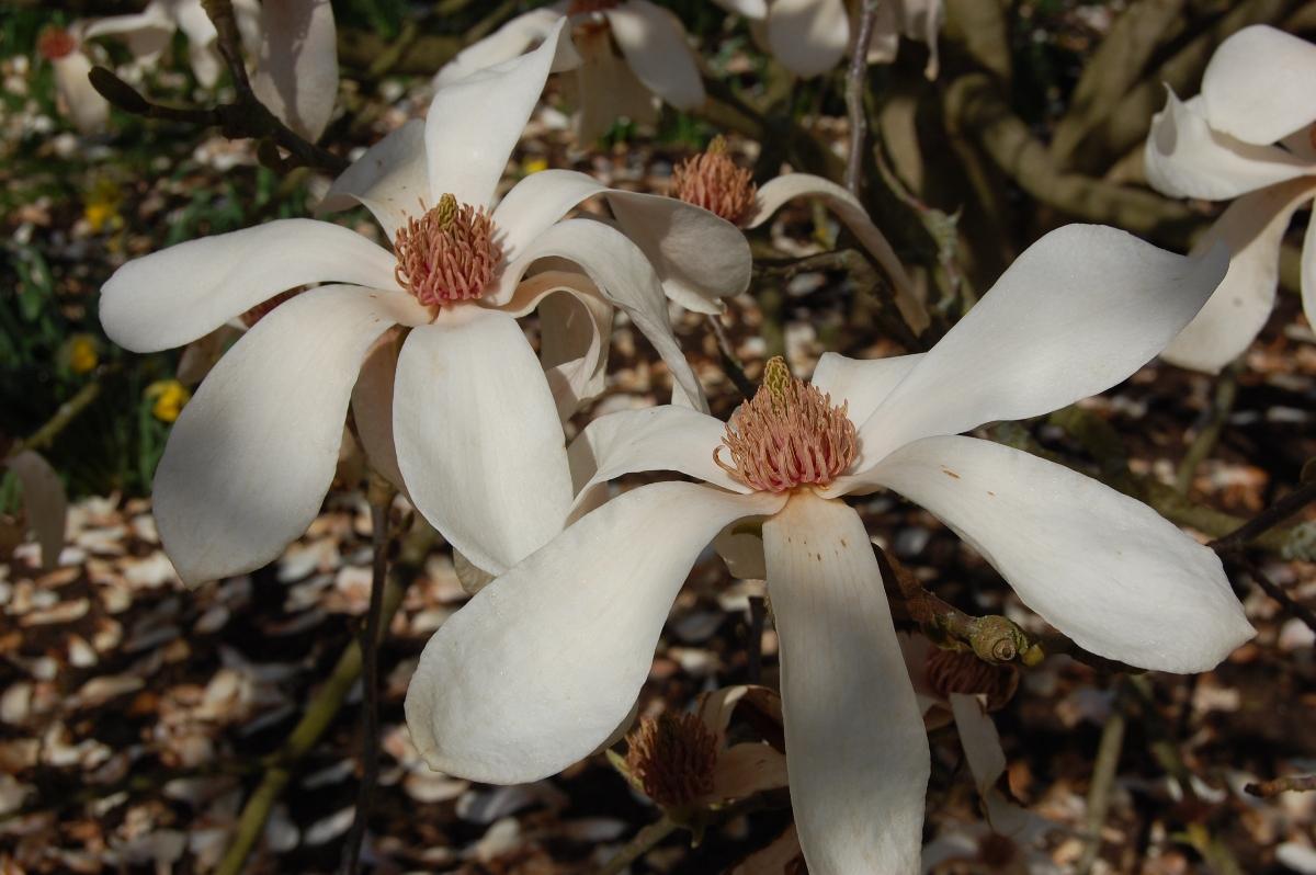 magnolia_cylindrica