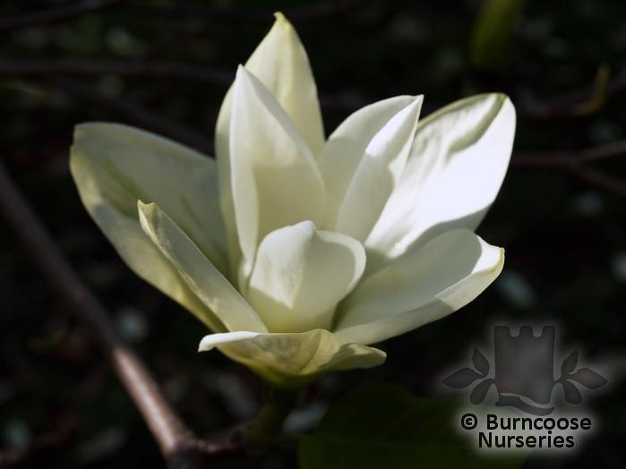 magnolia_rostrata
