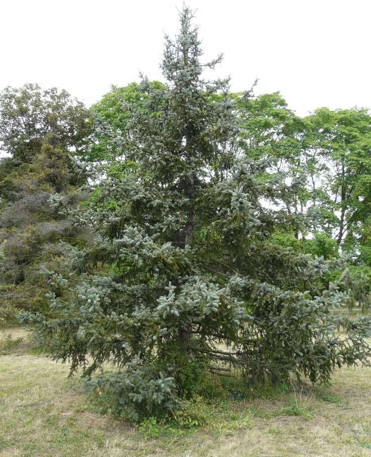 Picea gemmata