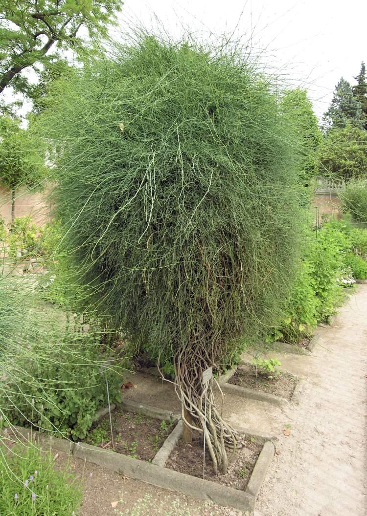 Ephedra distachya subsp. distachya