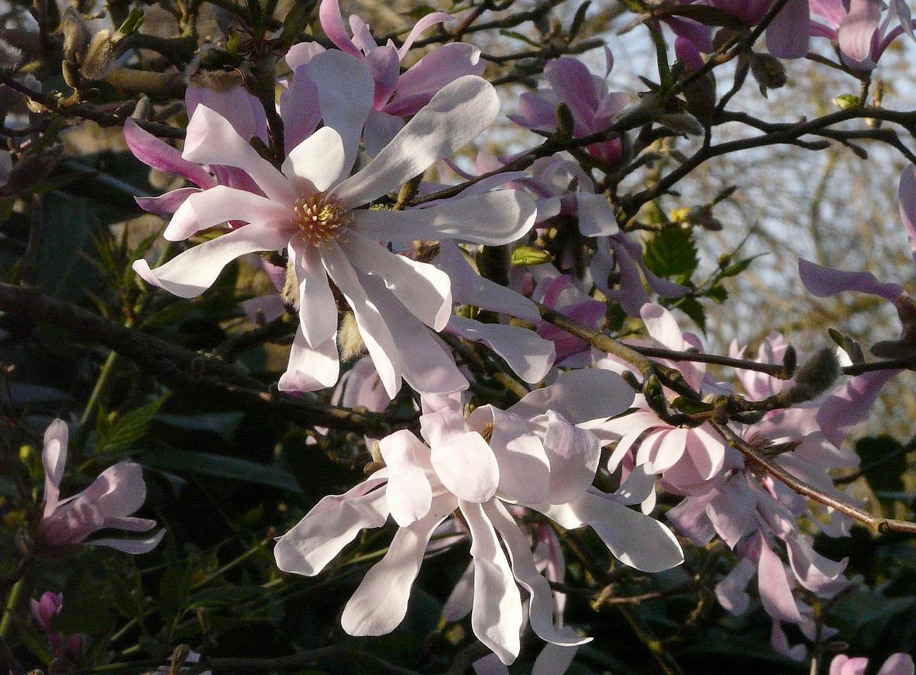Magnolia-loebneri-Leonard-Messel