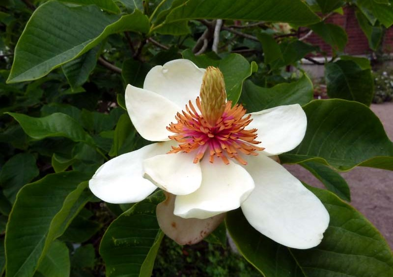 Magnolia watsonii