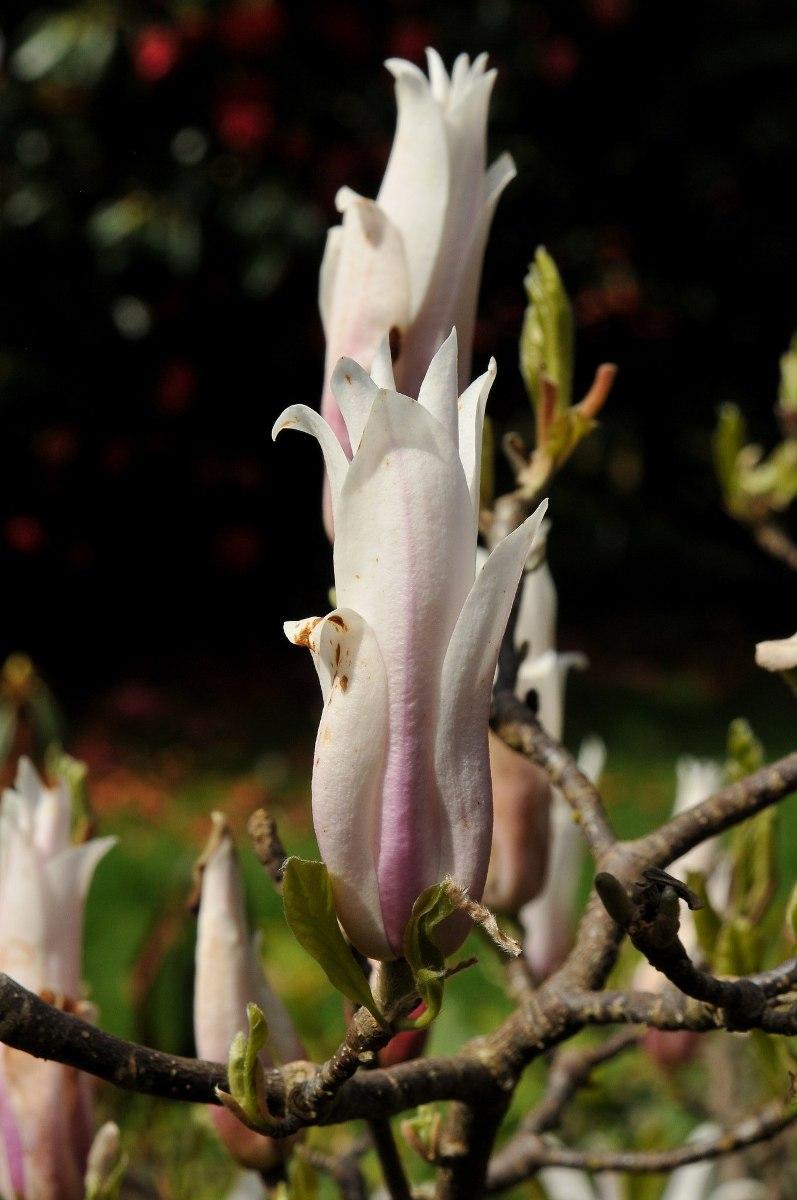 Magnolia_amoena_Chameleon