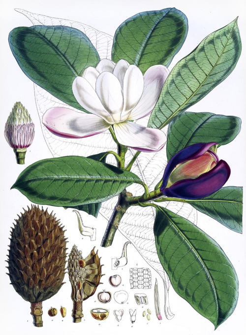 Magnolia_hodgsonii