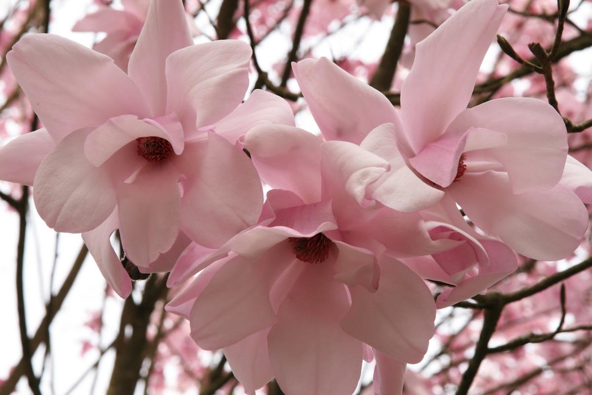Magnolia_sargentiana_robusta