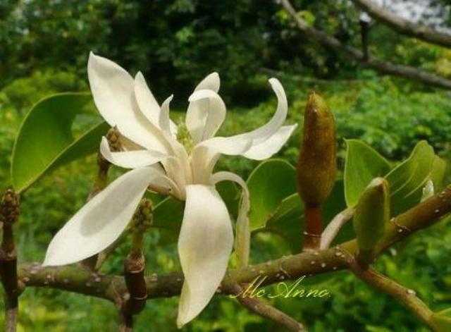 Magnolia_sirindhorniae