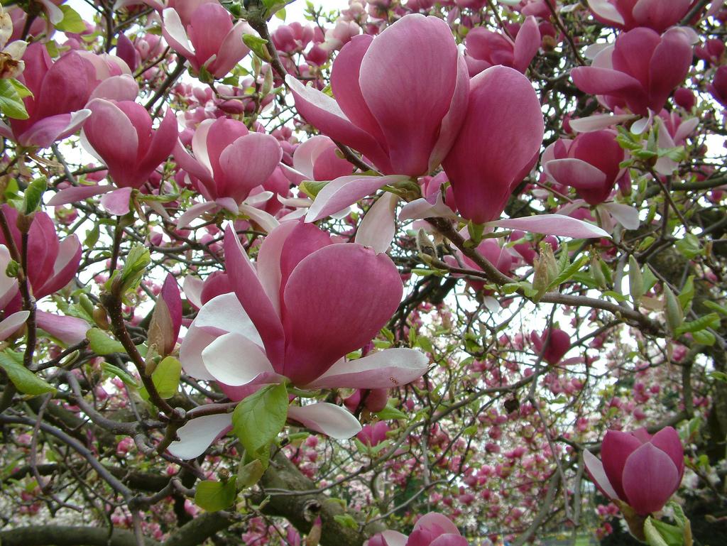 Magnolia_soulangeana_Rustica_Rubra