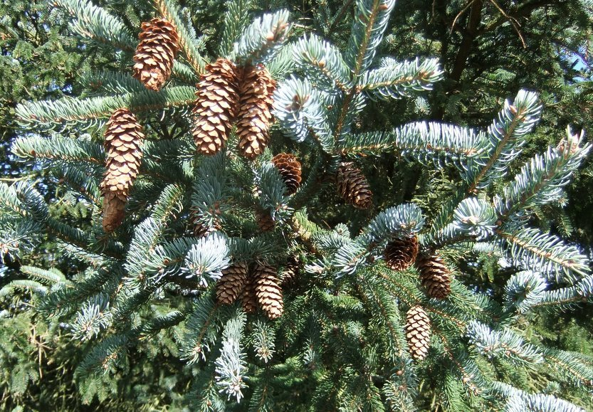 Picea_х_lutzii_2