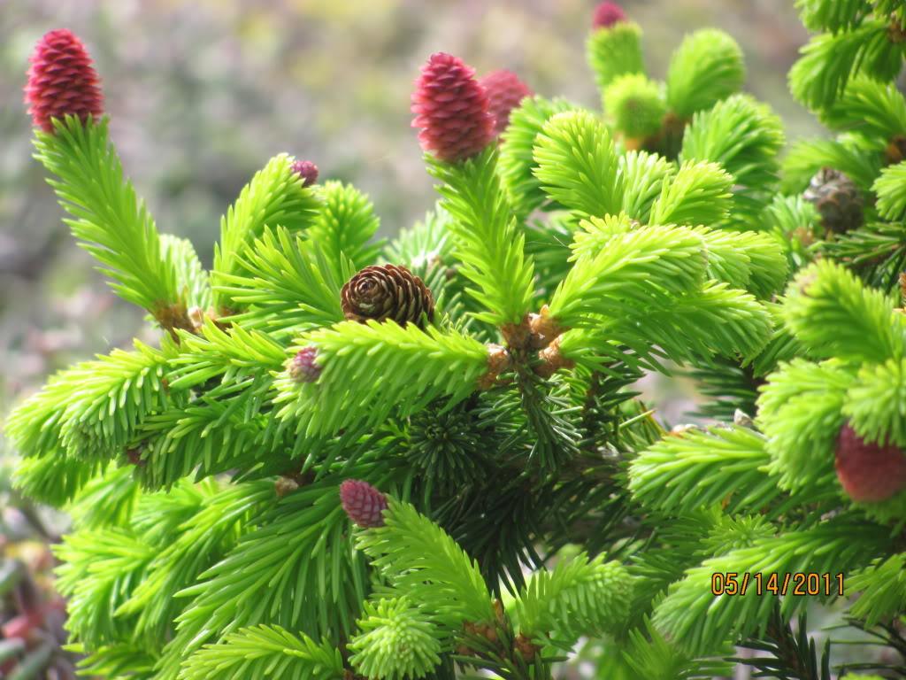 Picea_abies_2