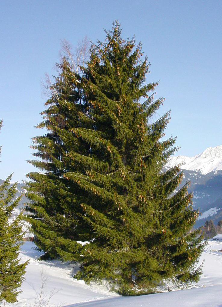 Picea_abies_4