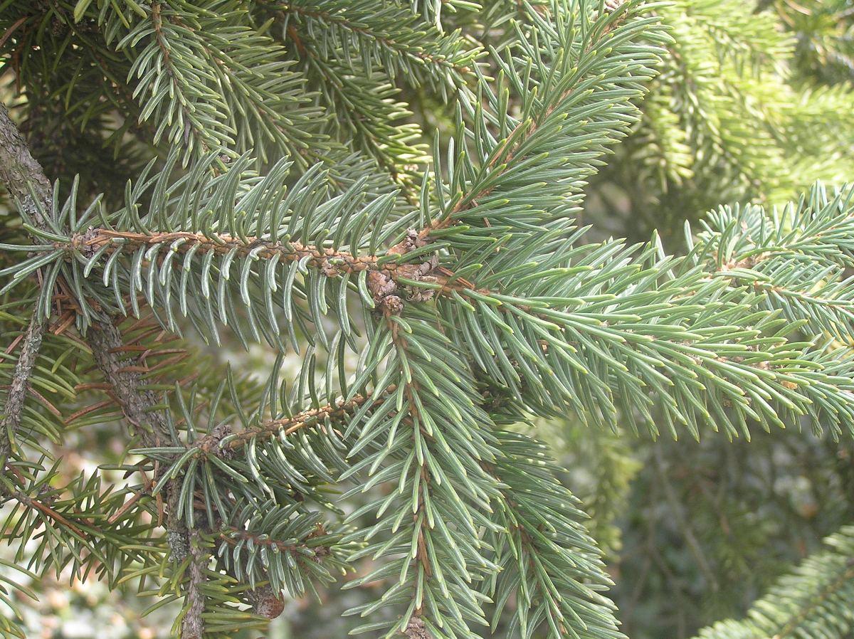 Picea_asperata_10