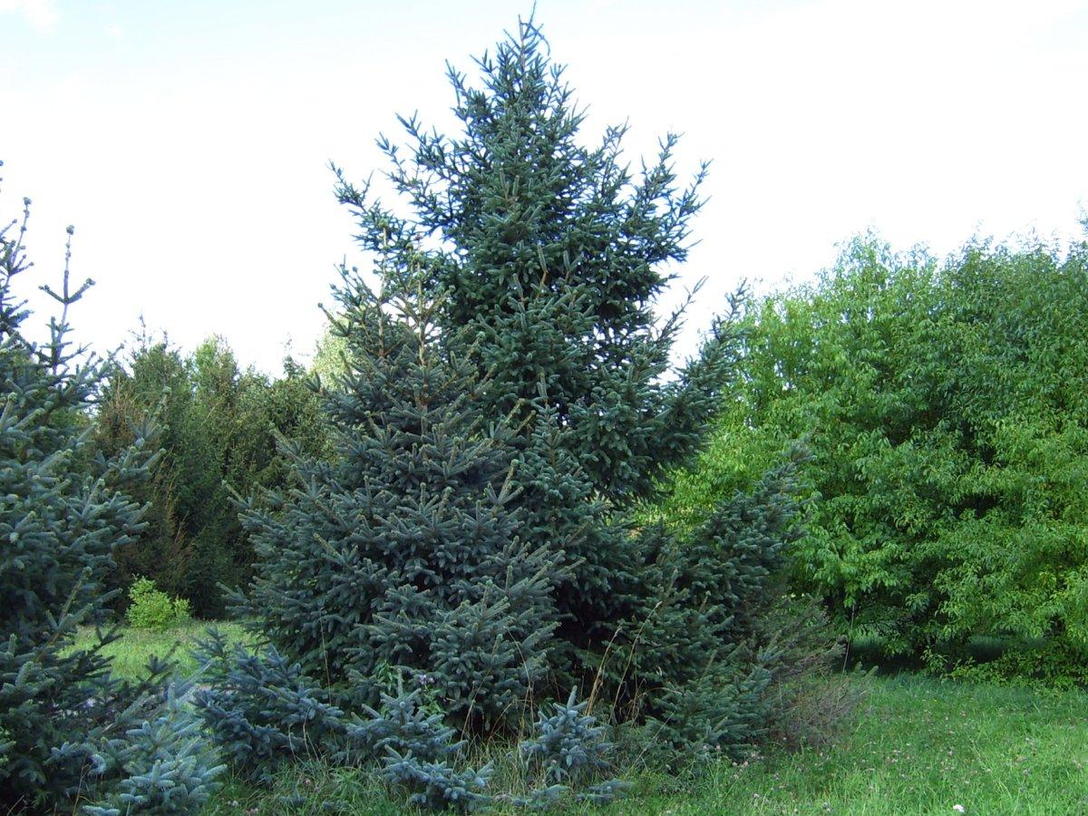 Picea_asperata_5