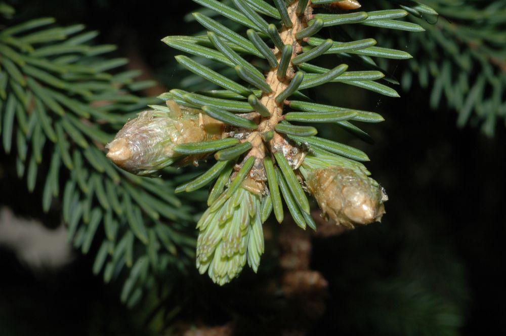 Picea_asperata_9