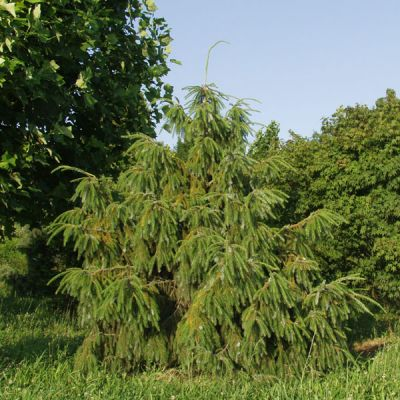 Picea_brachytyla_5
