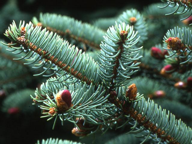 Picea_crassifolia_1