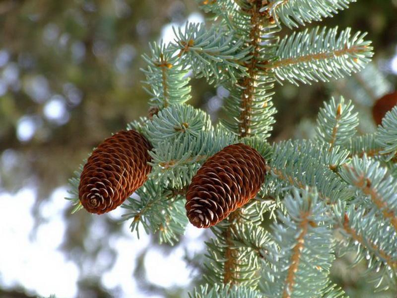 Picea_crassifolia_2