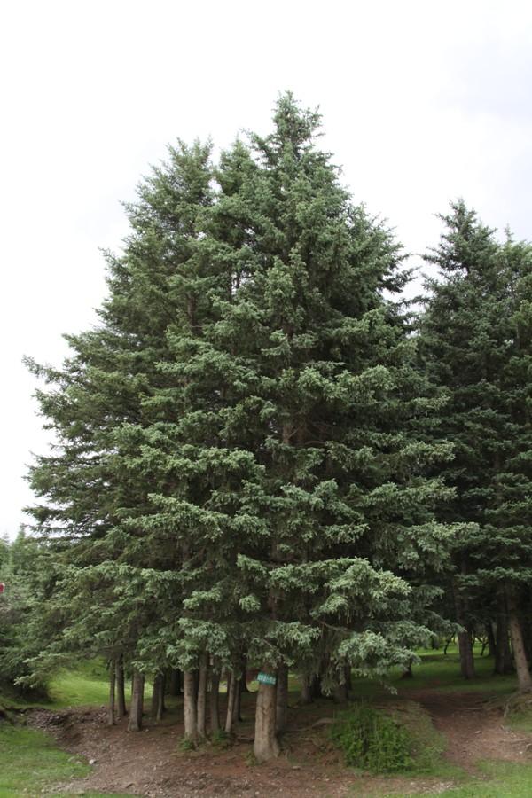 Picea_crassifolia_7