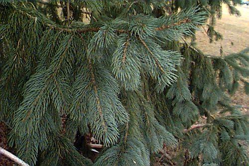 Picea_engelmannii _9