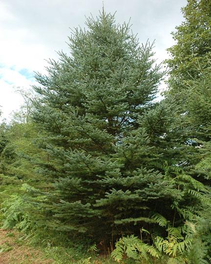 Picea_glauca_2