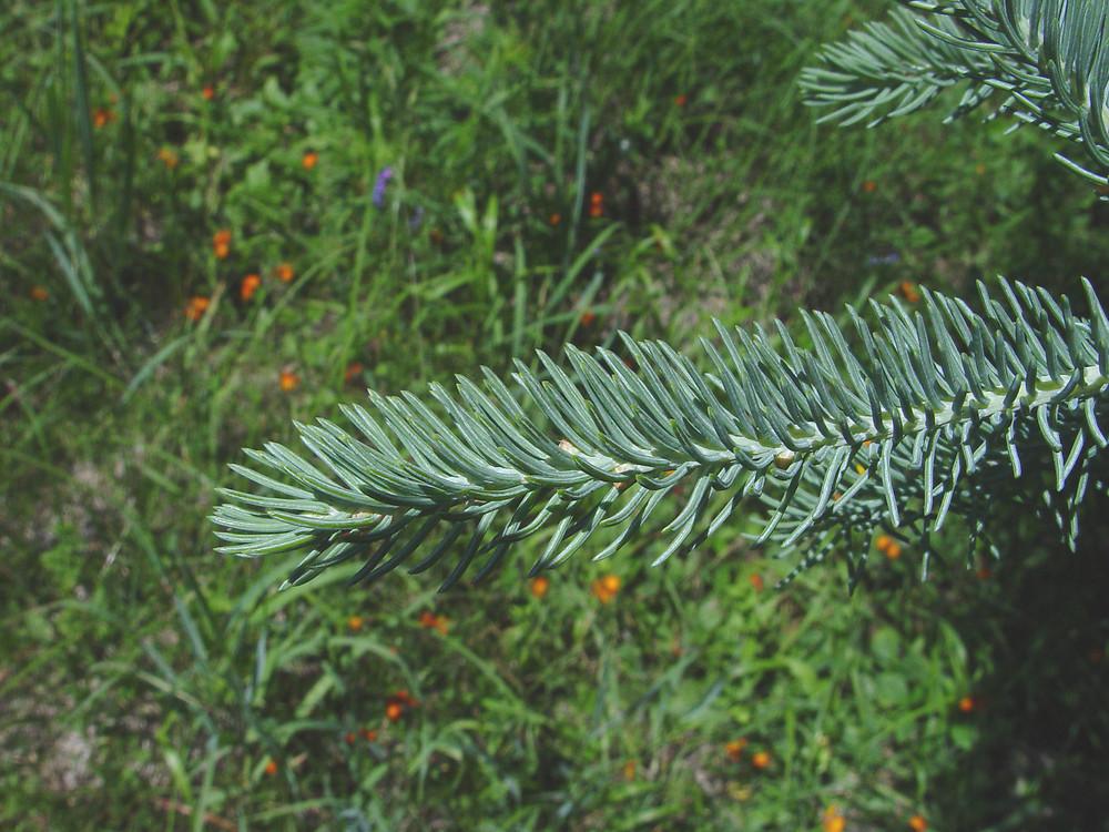 Picea_glauca_6
