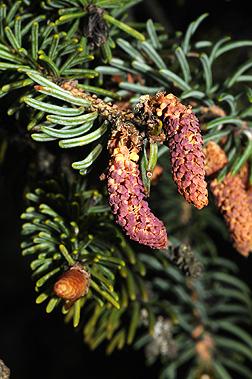 Picea_glauca_8