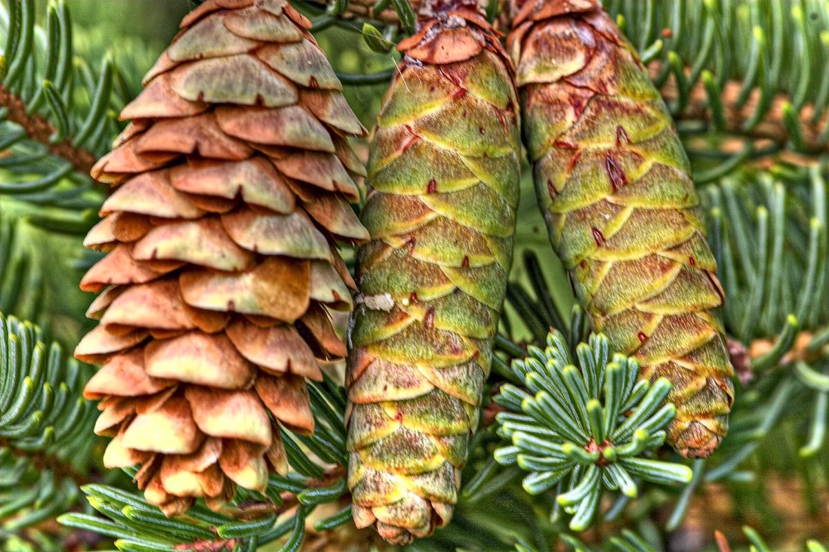 Picea_glauca_cones