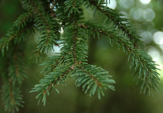 Picea_koyamae_1