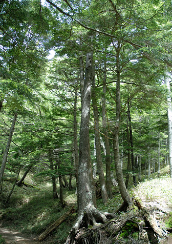Picea_koyamae_10