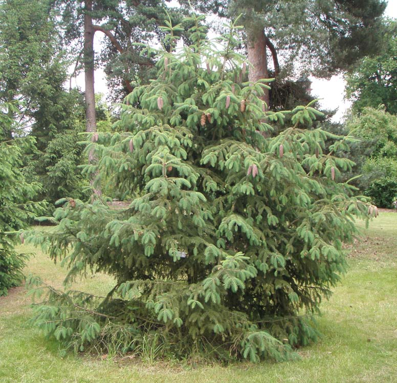 Picea_likiangensis_5
