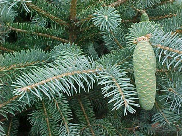 Picea_likiangensis_6