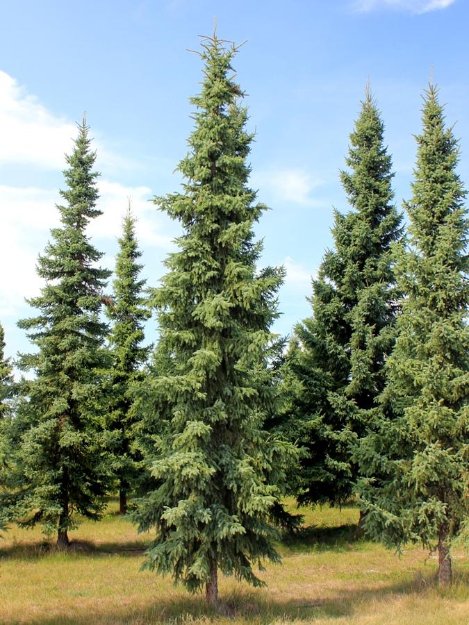 Picea_mariana_3