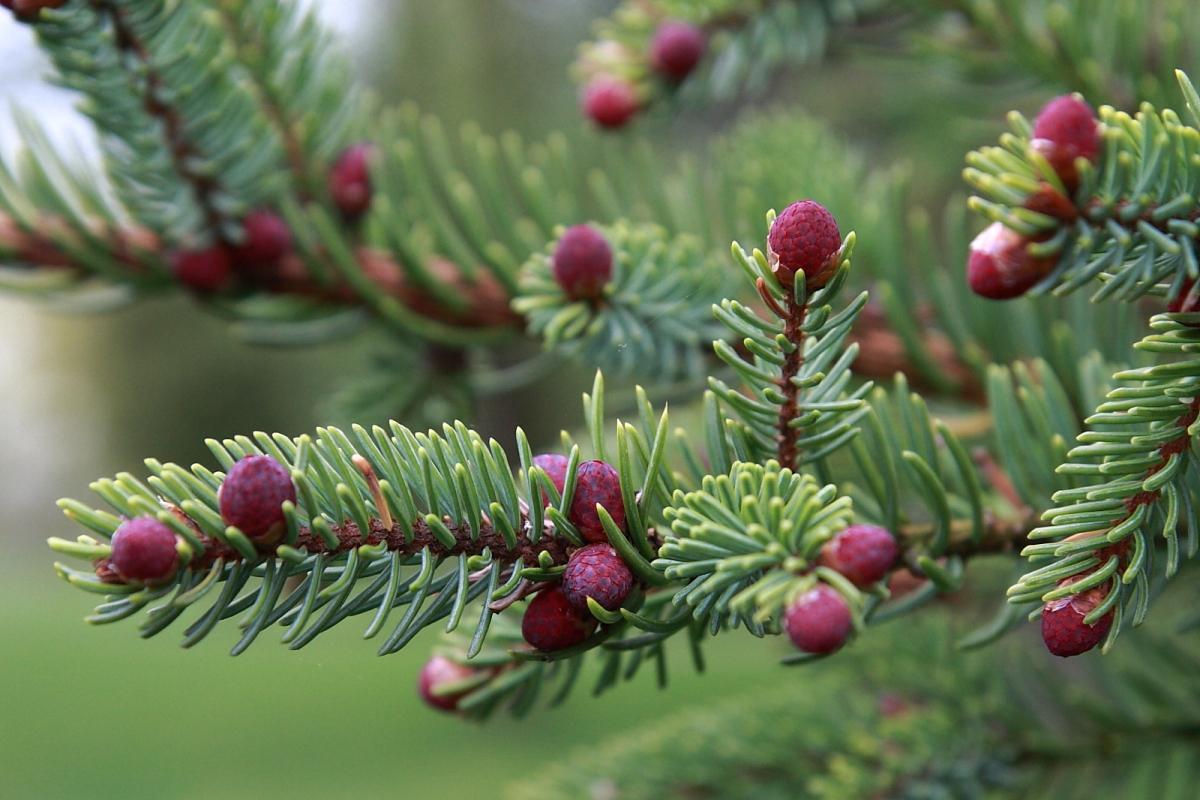 Picea_mariana_4
