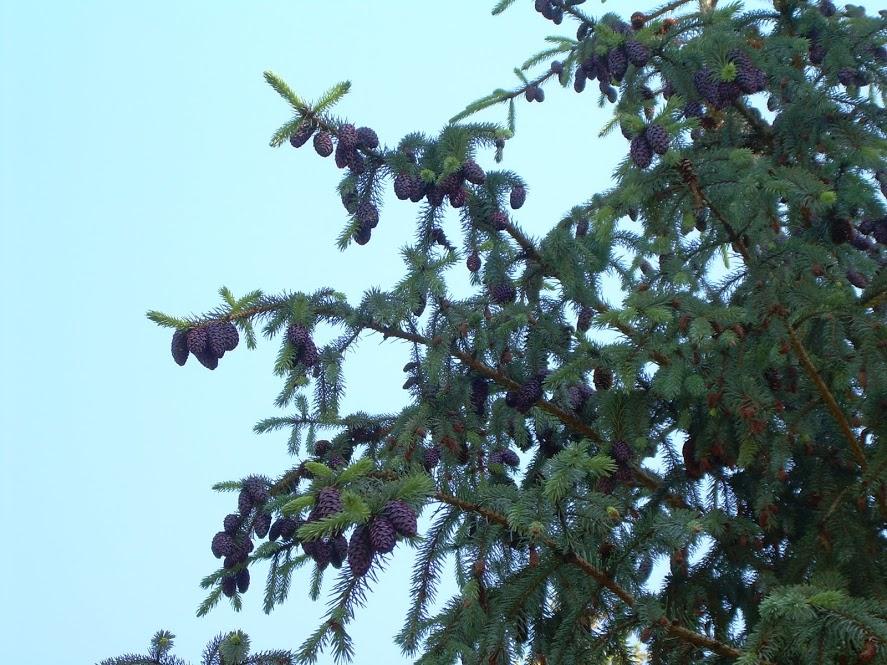 Picea engelmannii subsp mexicana