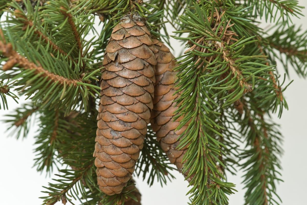 Picea_obovata_2
