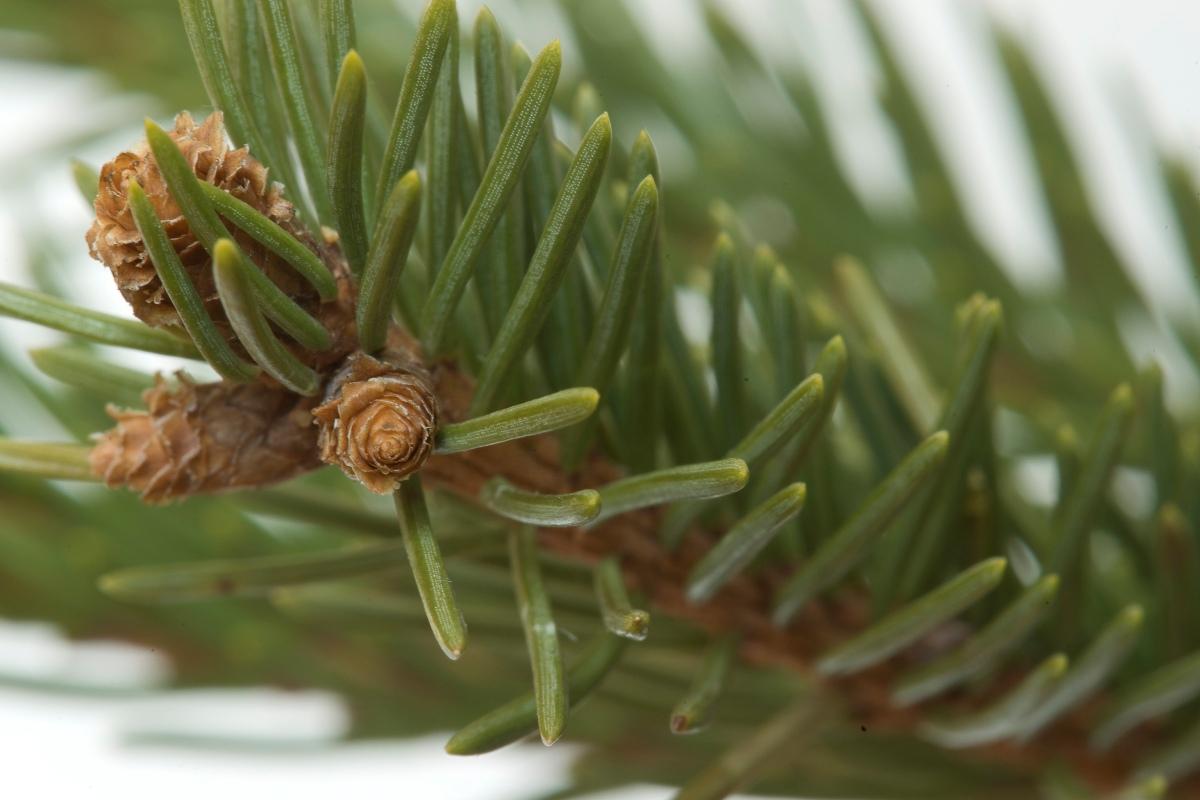 Picea_obovata_3