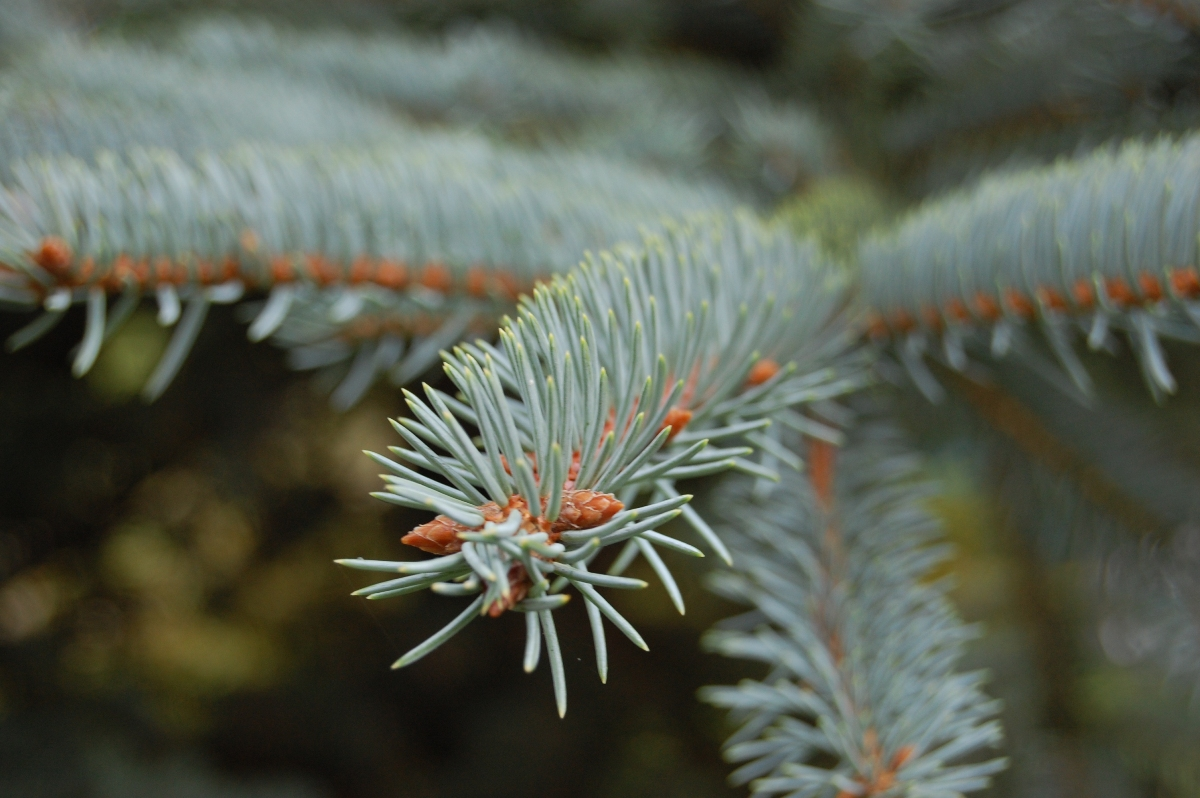 Picea_pungens_1