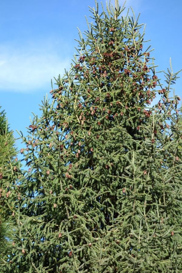 Picea_purpurea_5