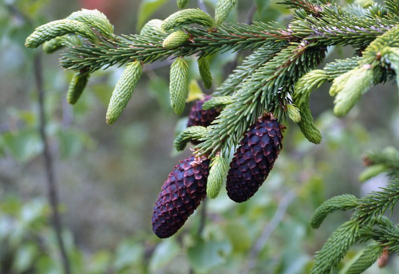 Picea_purpurea_6