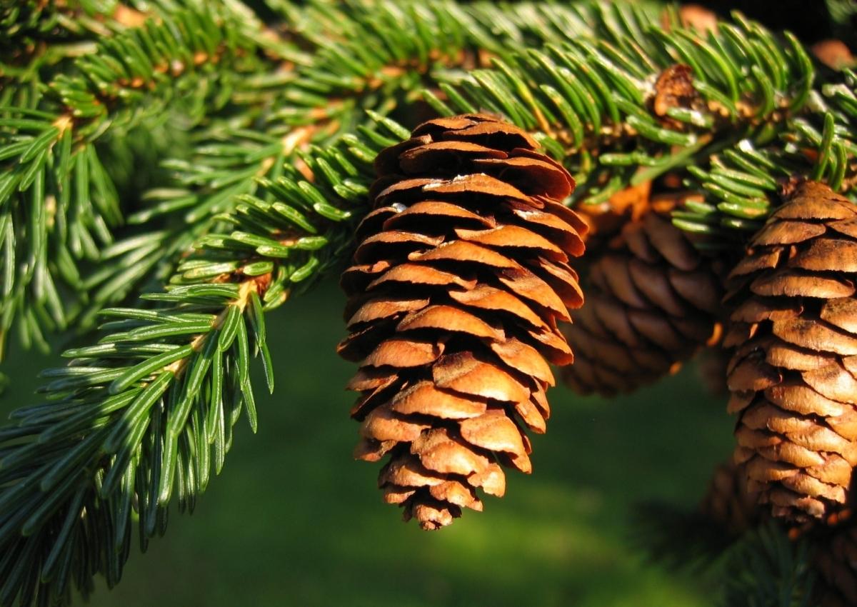 Picea_rubens_1