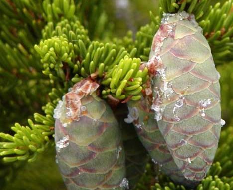 Picea_rubens_4